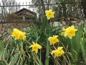 house and daffodils
